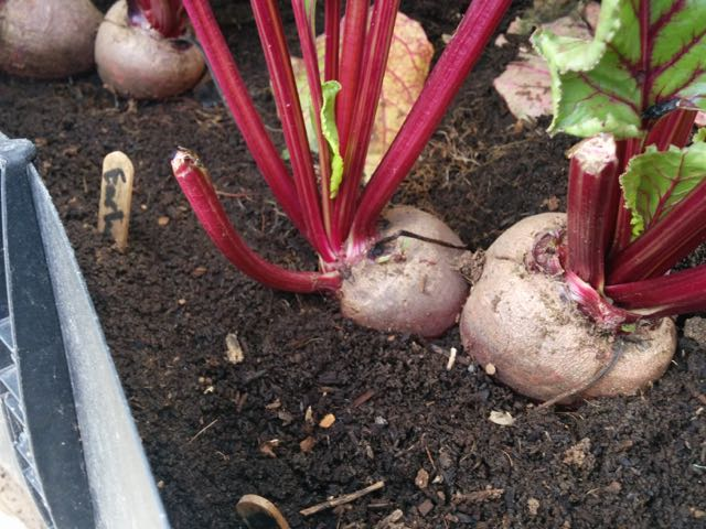 Growing Beets - How to grow Beets
