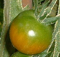 Tomato Greenback disease