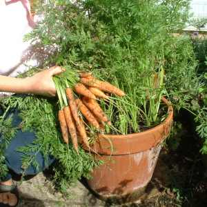 how to gow carrots in containers